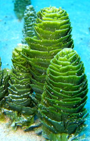 Marine Plants in the Aquarium