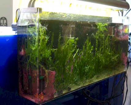 Macro Algae Your Source For Quality Marine Plants And