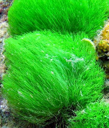 Marine Plants marine plants in the aquarium